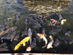 八景島シーパラダイス 鯉のえさやり
