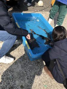 金沢漁港イベント おさかなと触れ合おう サメ