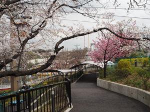 よみうりランド 桜  桜 昼間