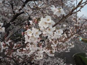 よみうりランド 桜開花状況
