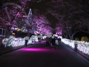 よみうりランド 夜桜 桜並木