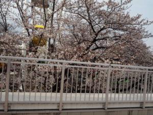 よみうりランド店 シェーキーズ 桜