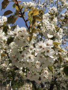 室の木公園 お花見 桜 横浜