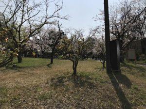 室の木公園 横浜 広場 お花見